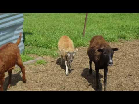 , title : 'Farm Raised Goats, Lamb, Chickens, Turkeys and Ducks Near Dallas, TX in Greenville