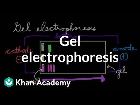 Gel electrophoresis (video) Khan Academy