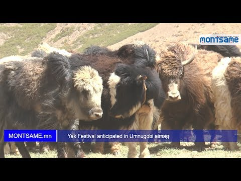 Yak Festival anticipated in Umnugobi aimag