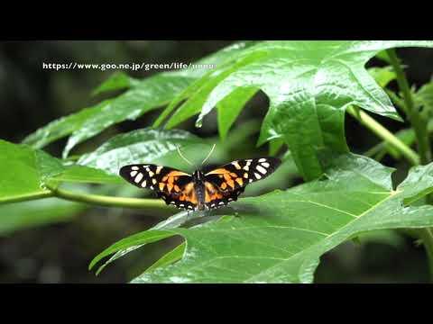 キマダラマルバネアゲハの飛翔 Pterourus zagreus