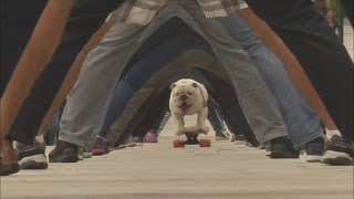 Gambar cover Bulldog skateboards through legs of 30 people on Guinness World Record day