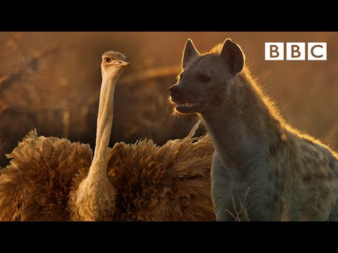 Zalika the Hyena FIGHTS an Ostrich | Serengeti - BBC