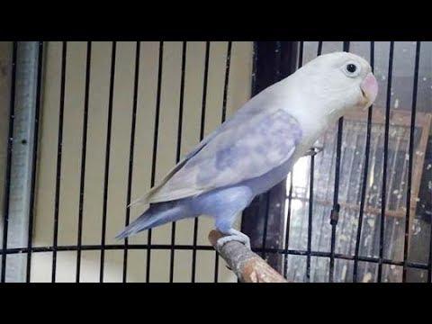 mp4 Lovebird Pasvio, download Lovebird Pasvio video klip Lovebird Pasvio