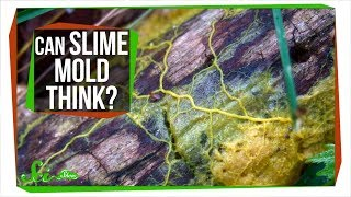 Slime Mold: A Brainless Blob that Seems Smart