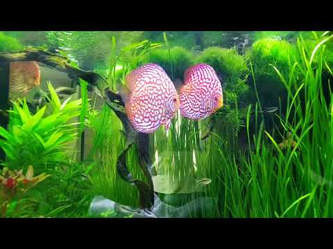 Planted Discus Tank owned by Paul Grand (France)