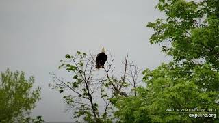 Decorah Eagles 5 22 20, 6:30 pm Mom perched & mobbed, eaglet hop flaps