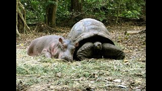 130 Year Old Tortoise Saves Baby Hippo's Life, Now They're Best Friends…