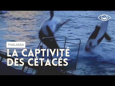 Dauphins, orques et delphinariums  (Reportage complet) émission Thalassa