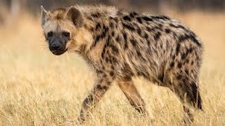 Most Dangerous Hyena !