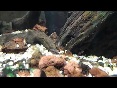 Avannotti pelvicachromis pulcher 5