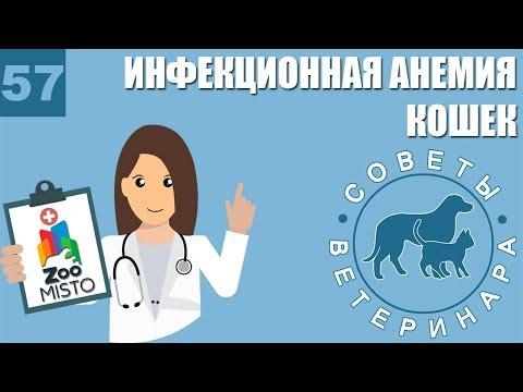 Инфекционная анемия кошек | Симптомы, лечение гемобартонеллеза | Причины болезни | Советы Ветеринара