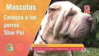 Tiernos arrugaditos: conozca a los perros Shar Pei