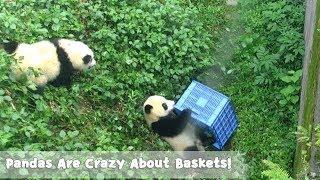 Pandas Are Crazy About Baskets! | iPanda
