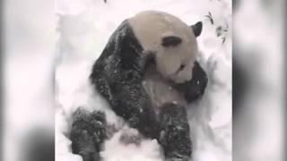 Вот кому снег в радость! Весёлая панда