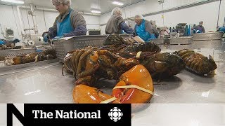 U.S.-China trade war great for Canada's lobster industry