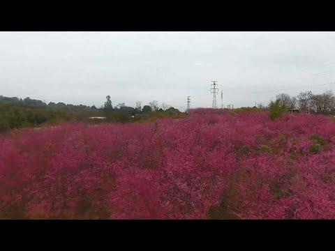 العرب اليوم - شاهد: بحر من ألوان أزهار الكرز في مدينة