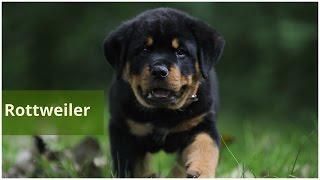 Rottweiler from Yugoslavia