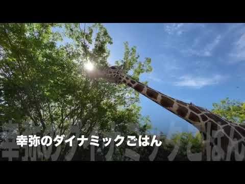 【天王寺動物園】キリン・幸弥のダイナミックごはん