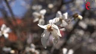 У Хмельницькому розквітли магнолії та сакури (ВІДЕО)