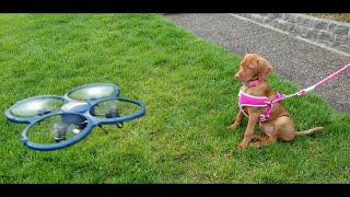 Vizsla Puppy and Drone