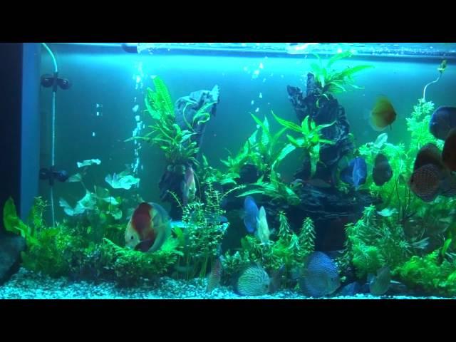 Discus fish aquarium aquascape alenquer,wild discus heckel,penang,snake skin,red melon
