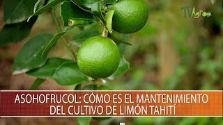 Asohofrucol: Como es el mantenimiento del cultivo de limon tahiti - TvAgro por Juan Gonzalo Angel