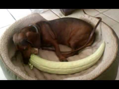 , title : 'Gibson and the Giant Cucumber