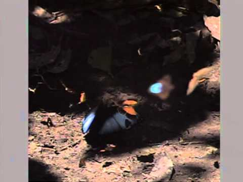 パトロクルス モルフォ(Morpho patoroclus)