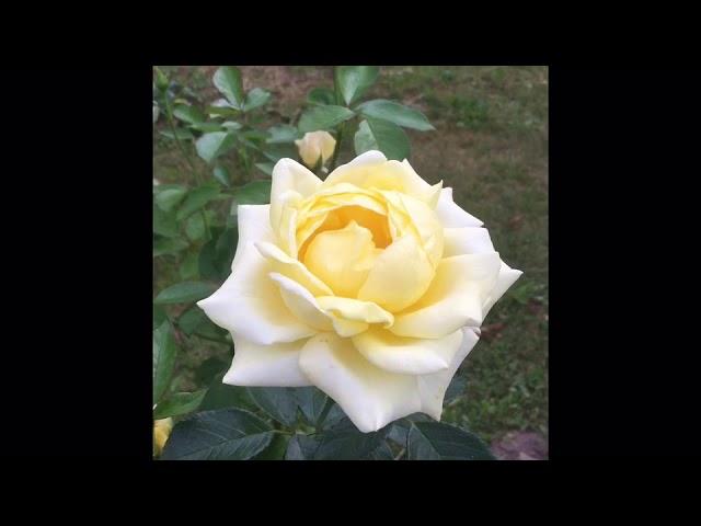 Роза Беролина.
