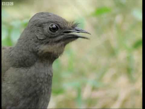 Attenborough: the amazing Lyre Bird sings like a chainsaw! Now in high quality | BBC Earth