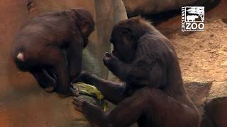 New Indoor Gorilla Habitat Opens to the Public - Cincinnati Zoo
