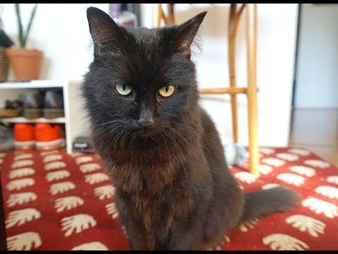 Mocha, an adoptable Domestic Long Hair Mix in Springfield, OR