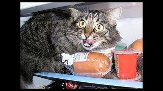 Коты - воришки, приколы с котами, подборка смешных котов, которые воруют различные вещи