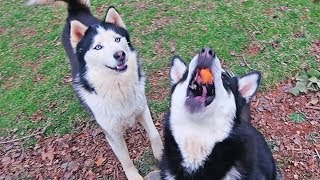 teaching my husky to catch treats