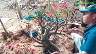 Cắt Tỉa, Thay Chậu Sứ Thái Lan - Repoting Adenium Obesum Bonsai