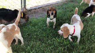 15 Beagles Rescued From A Hoarding Situation- Available For Adoption - Triangle Beagle Rescue Of NC