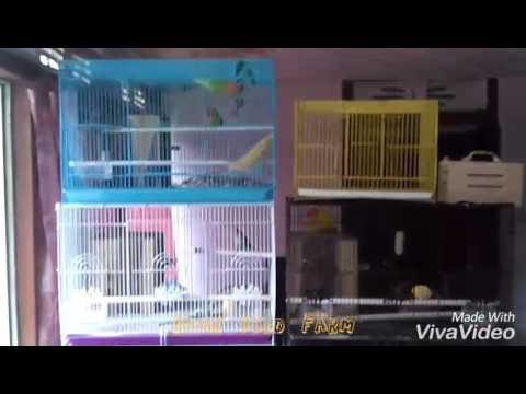Video Cara agar lovebird cepat bertelur , pemberian makan