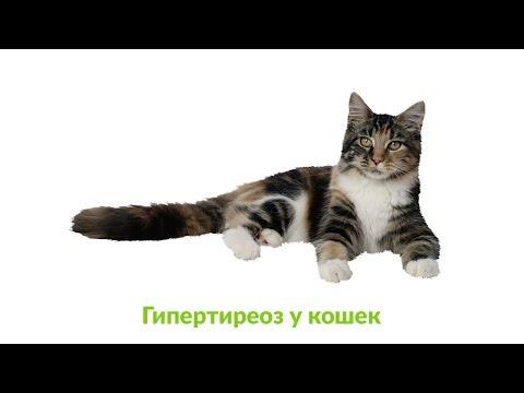Гипертиреоз у кошек. Ветеринарная клиника Био-Вет.