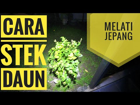 Video cara paling mudah stek daun melati jepang
