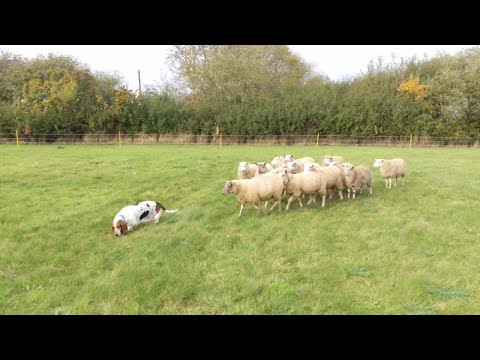Floppy Eared Basset Hound is an Accidental Sheep Dog