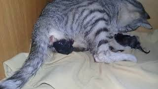 кошка рожает котят.the cat gives birth to kittens