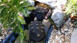 Redfoot trying his new small pond for the first time