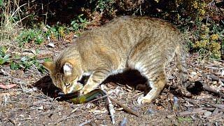Australia's plan to kill 2 million cats to combat 'extinction crisis'