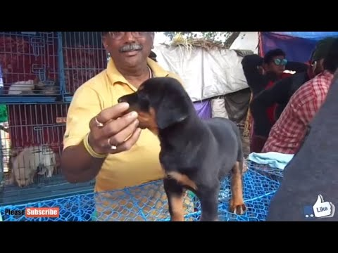 ENERGETIC ROTTWEILER PUPPY FOR SALE AT GALIFF STREET PET MARKET KOLKATA