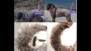 How to groom a Labradoodle|Cockapoo - Tail