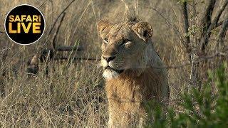 safariLIVE - Sunrise Safari - September 12, 2019