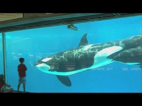 Adiós al show de orcas en Seaworld