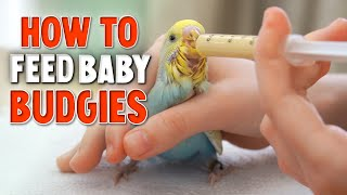How to Hand Feed Baby Budgies