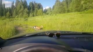 Смотреть онлайн Две лисы напали на одного кота, а он убежал