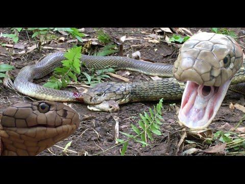 king cobra attacks and eats spitting cobra rare footage hd
